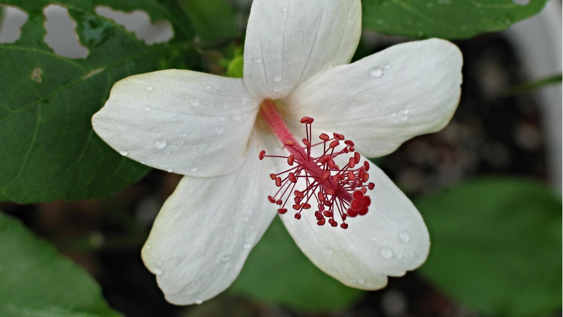Hibiscus waimaea david eickhoff