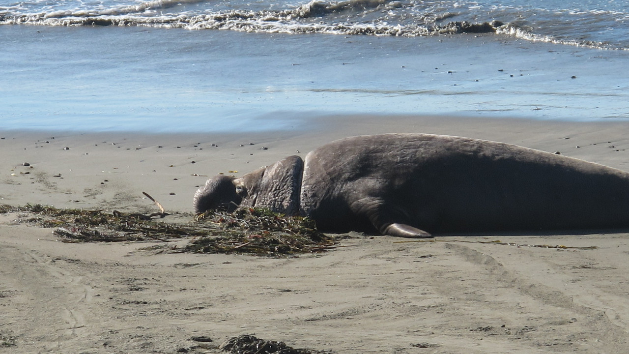 elephant seal plastic