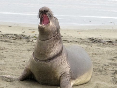 green tie elephant seal