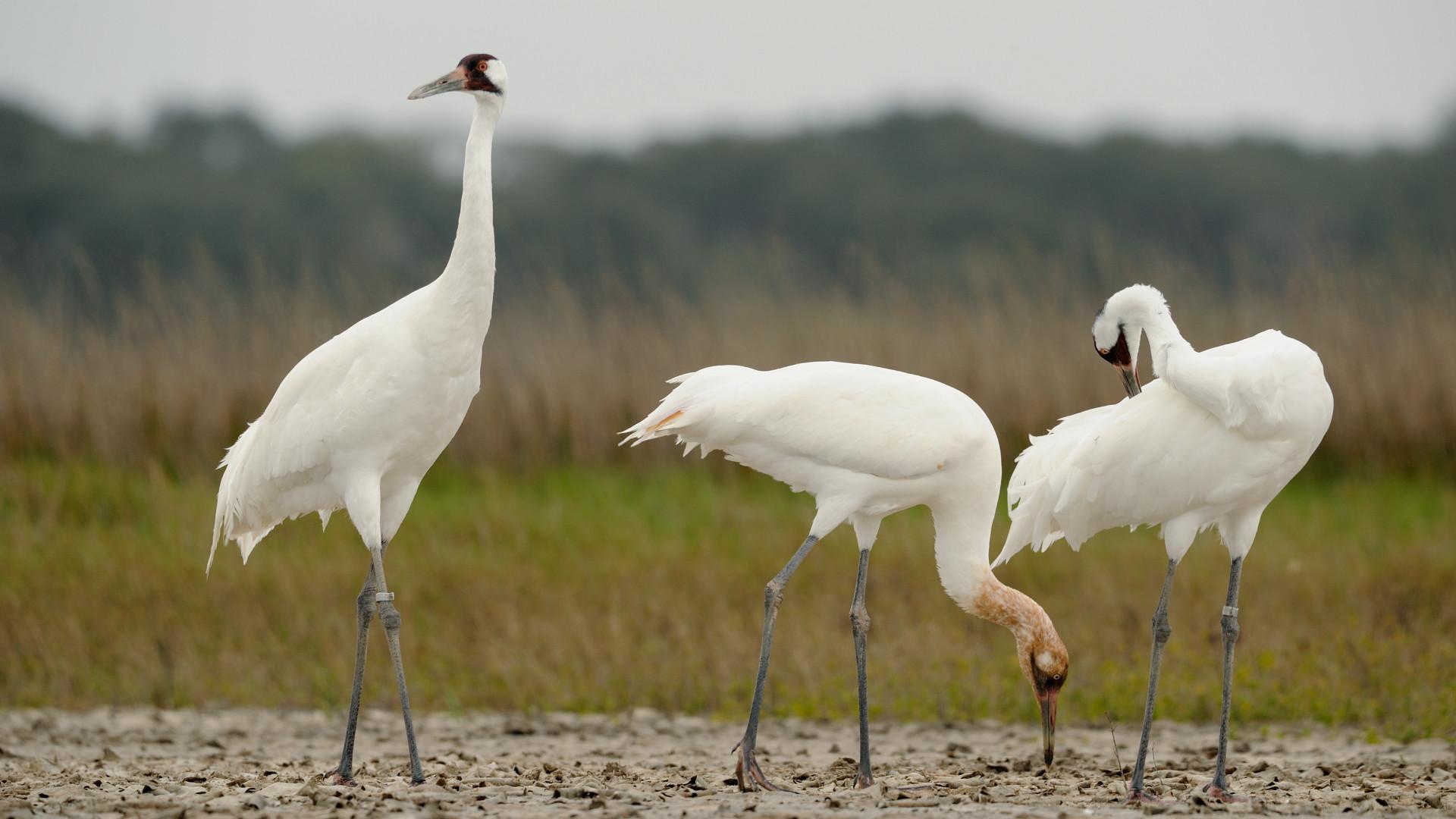 endangered species whooping cranes
