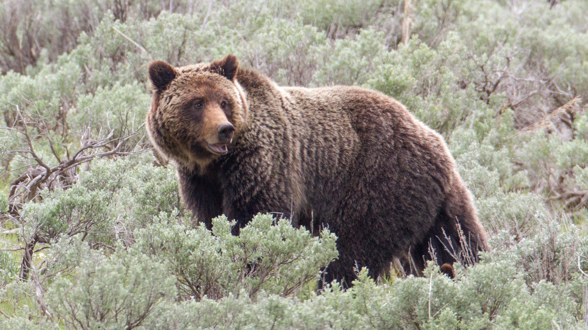 grizzly yellowstone