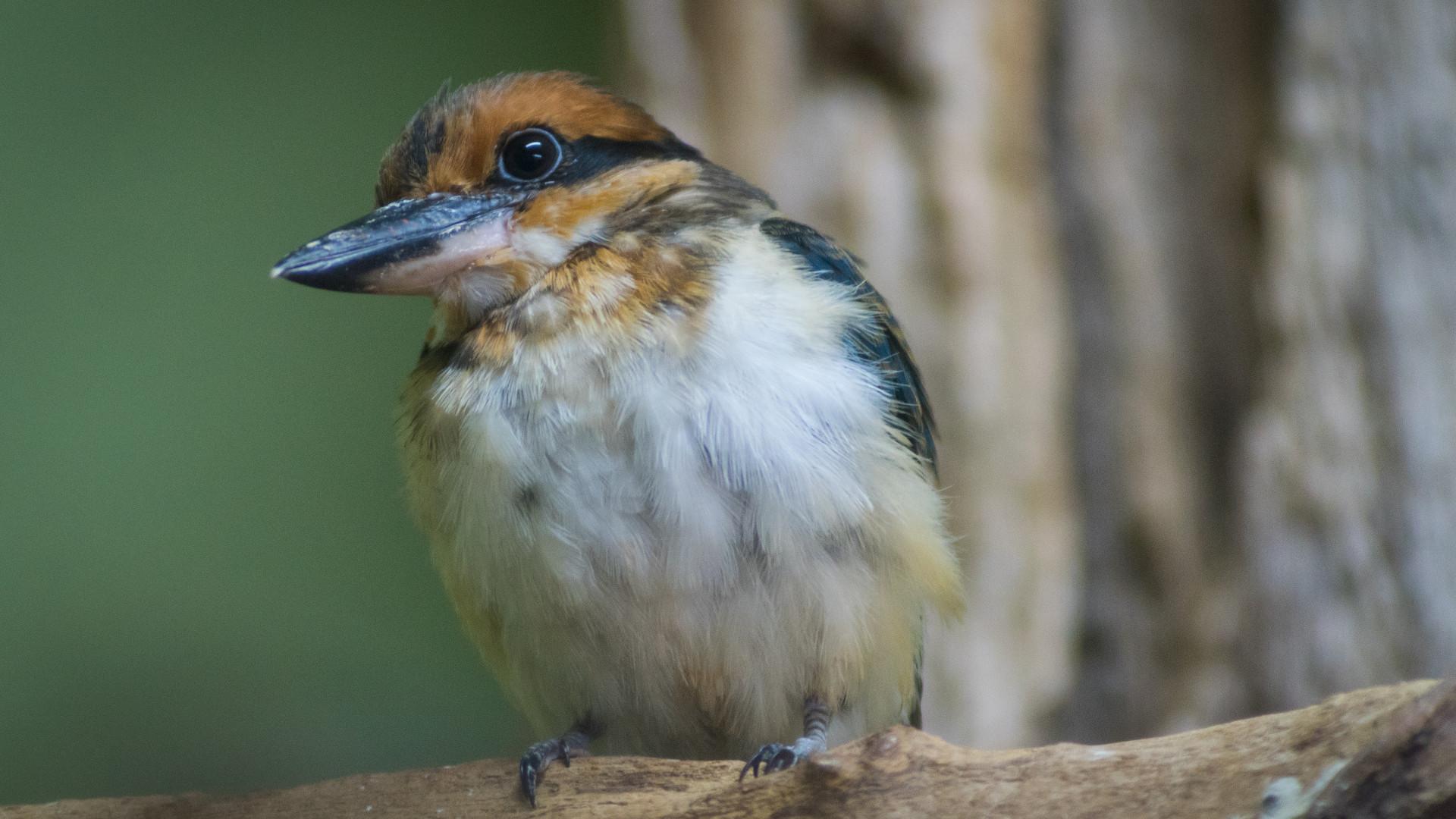 Guam kingfisher National Aviary