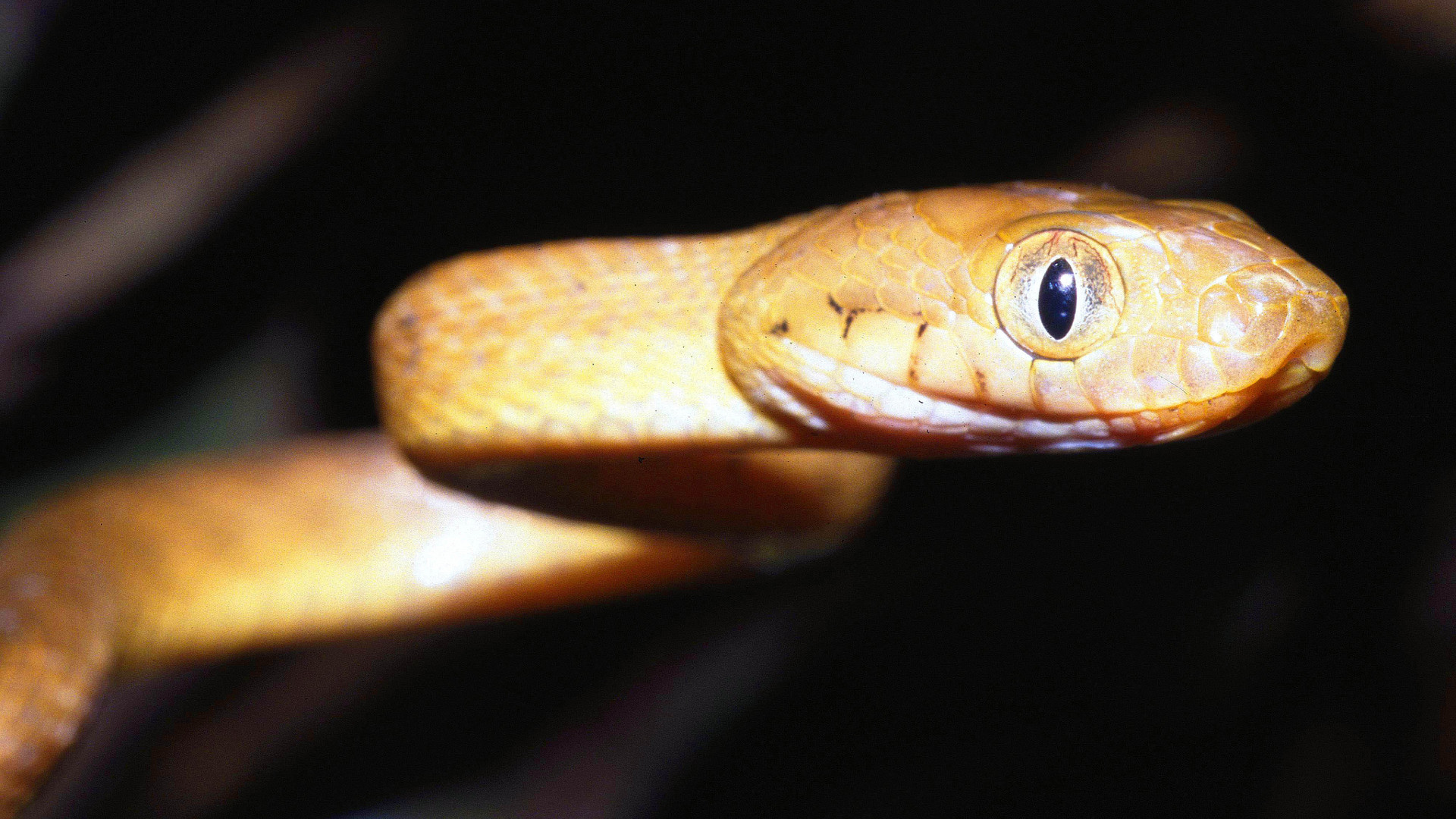 Guam brown tree snake