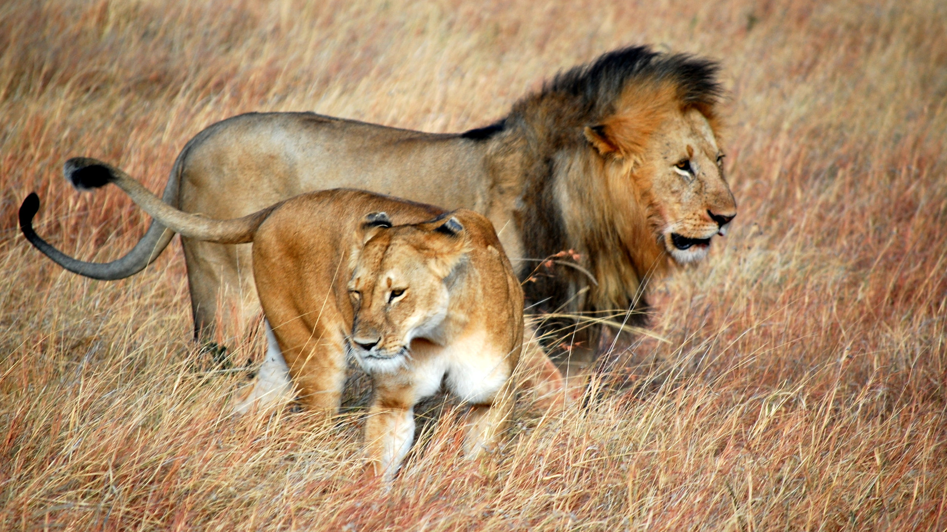 lions trophy hunting