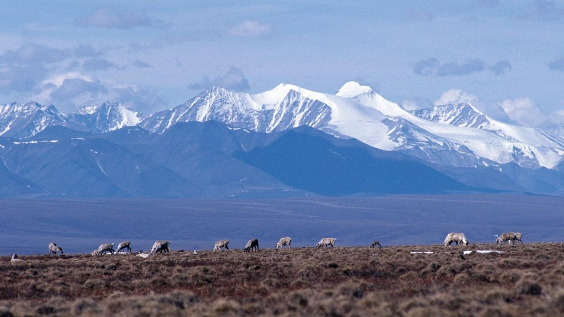 caribou anwr artcic wildlife refuge