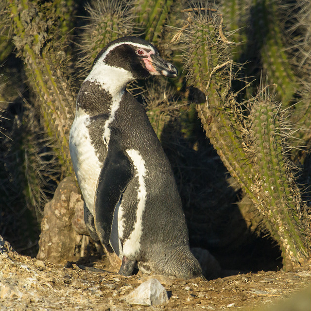penguin cactus