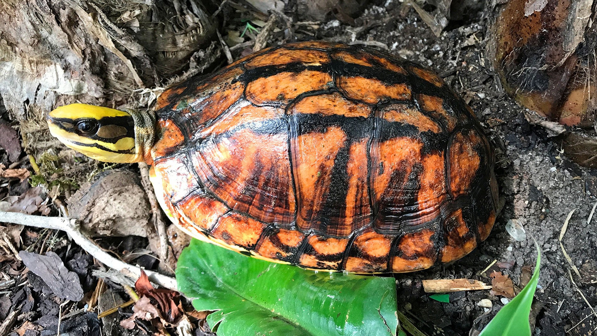 Three-striped box turtle
