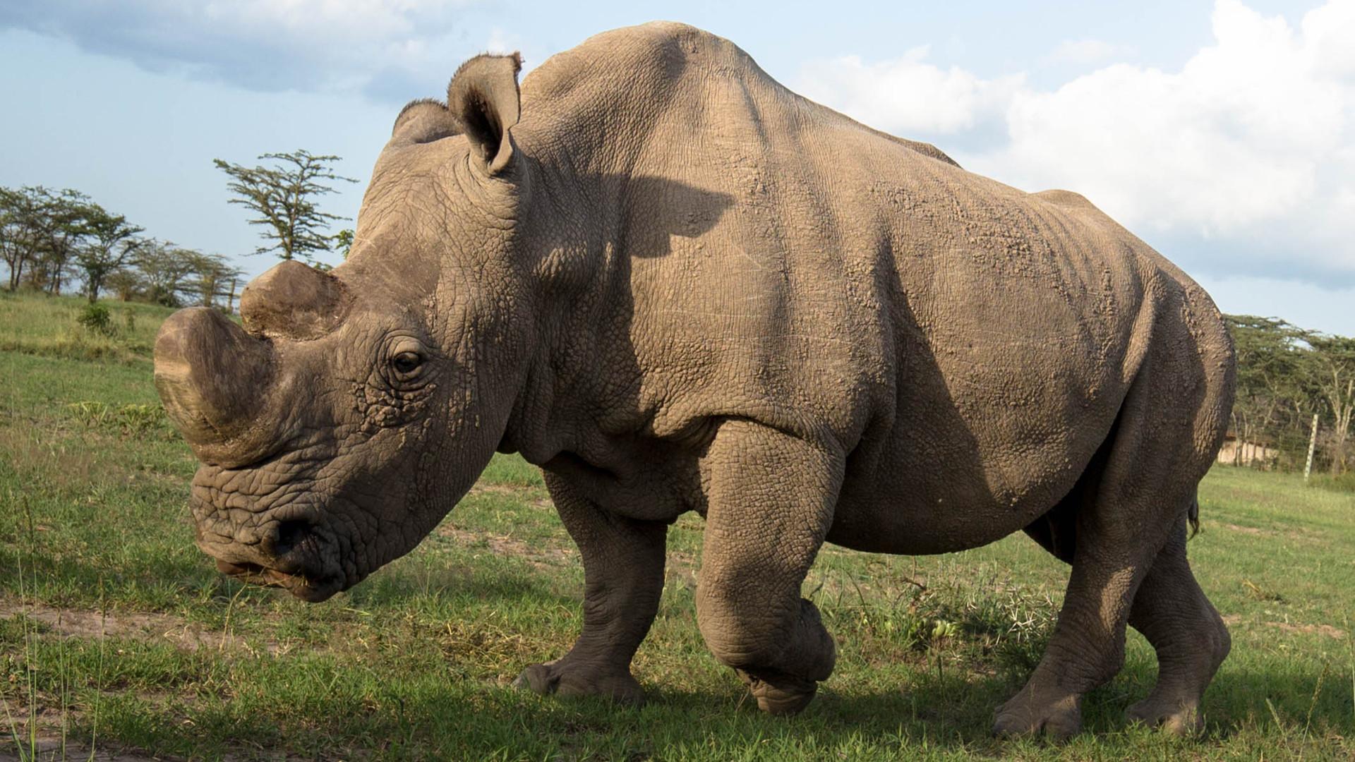 Sudan northern wrhite rhino