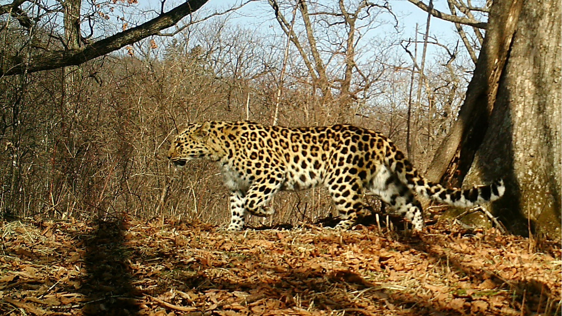 Amur Leopard Population Triples — to 103 • The Revelator