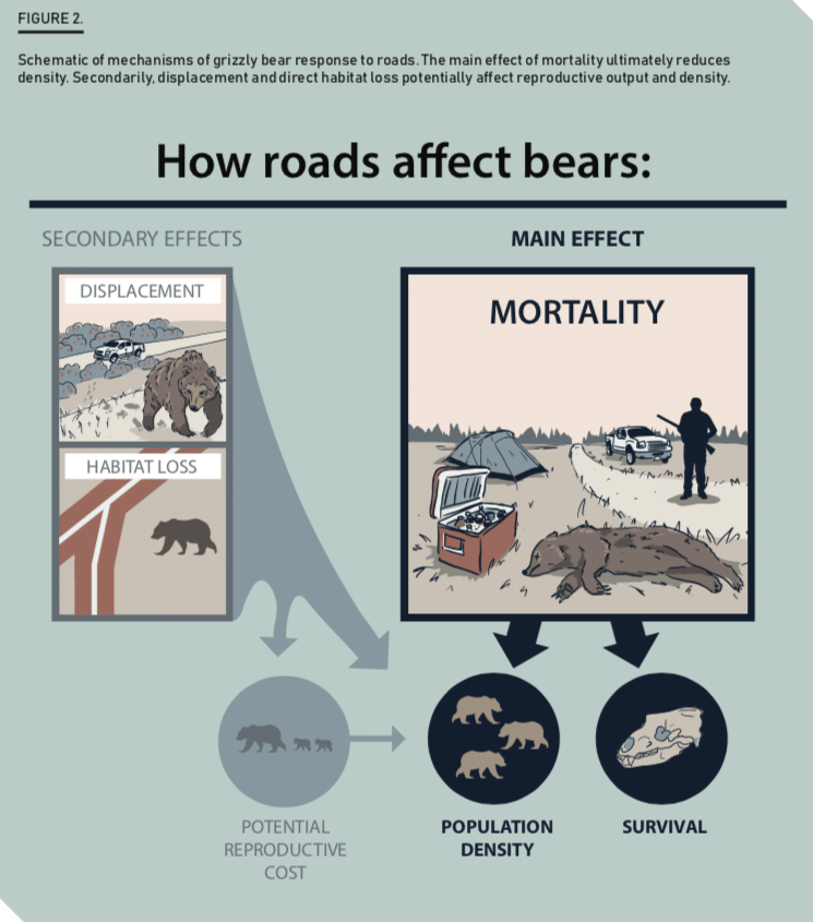 How roads affect bears