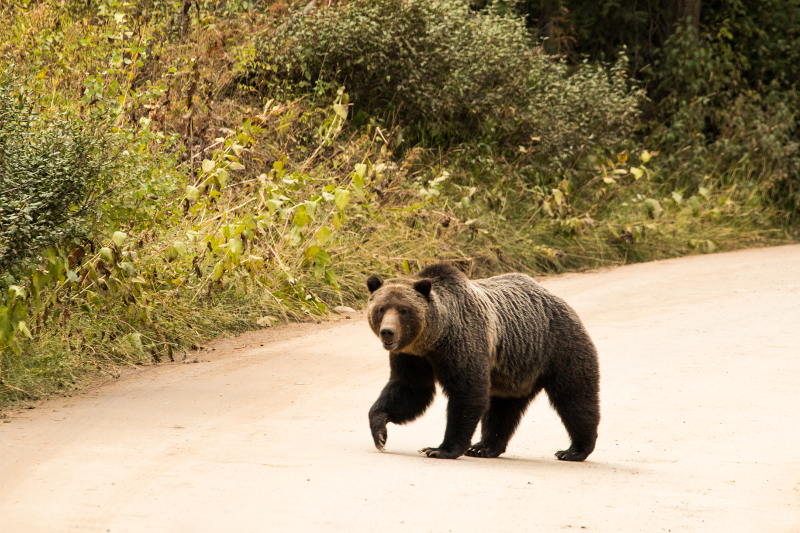 grizzly on a road
