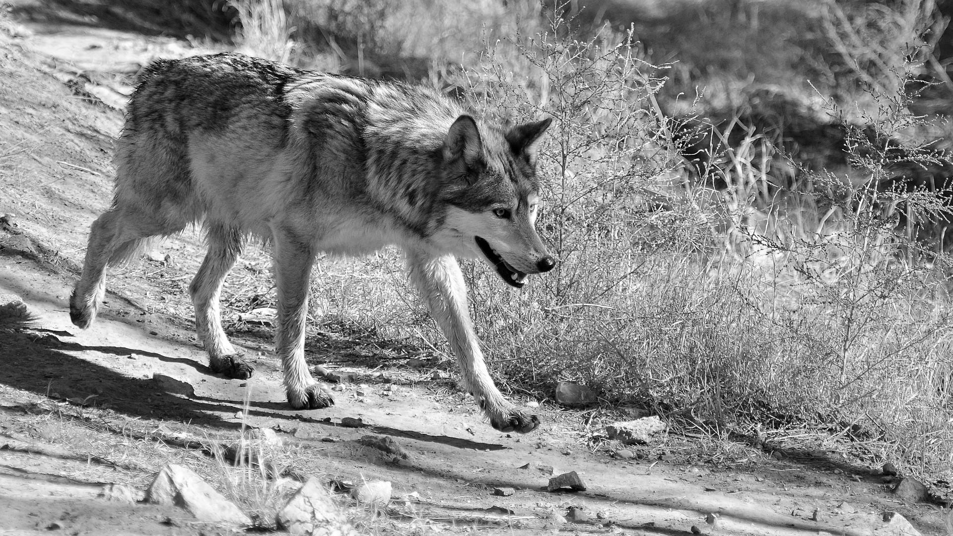 Mexcian gray wolf