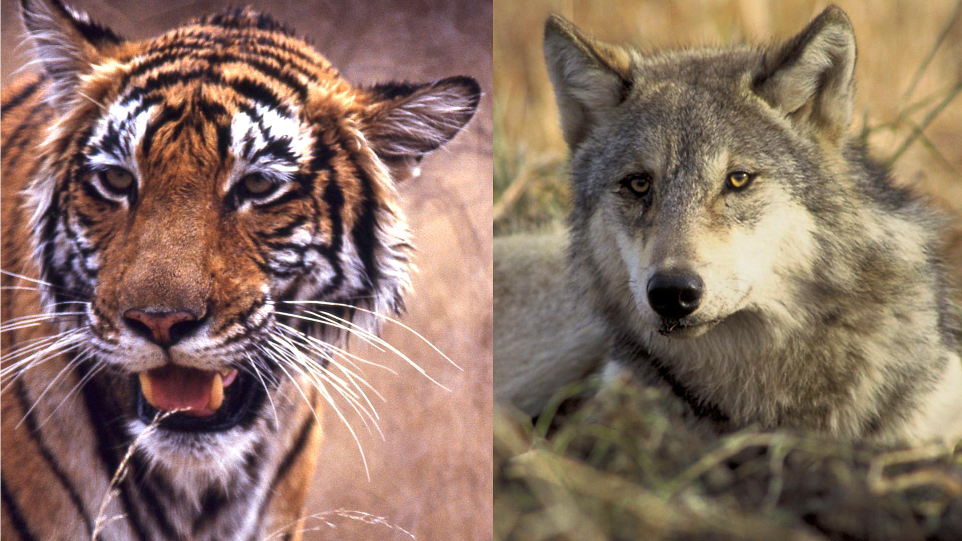 tiger wolf
