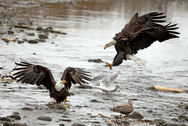 nooksack river birds