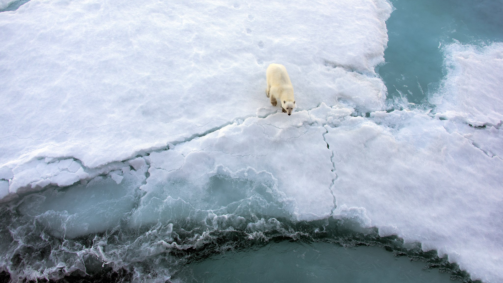 polar bear thin ice