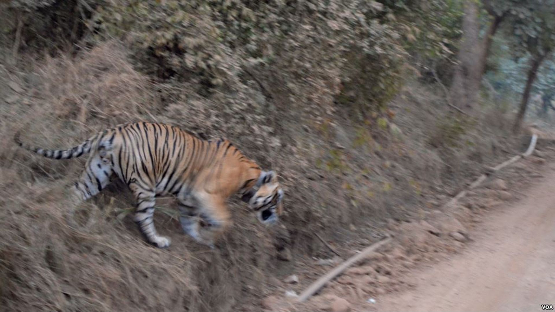 tiger sariska