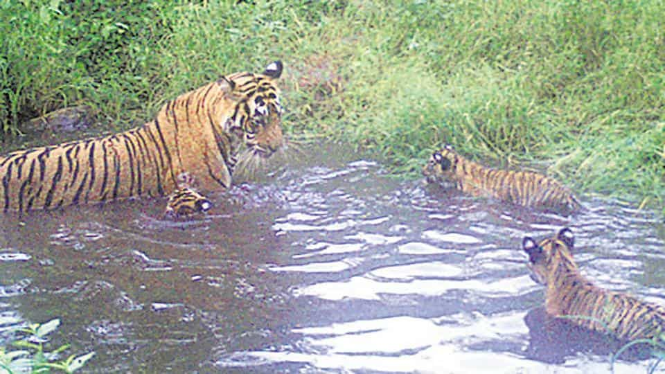 Sariska tigress