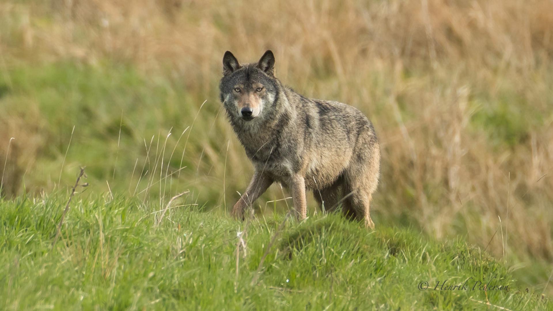 Wolf Jutland