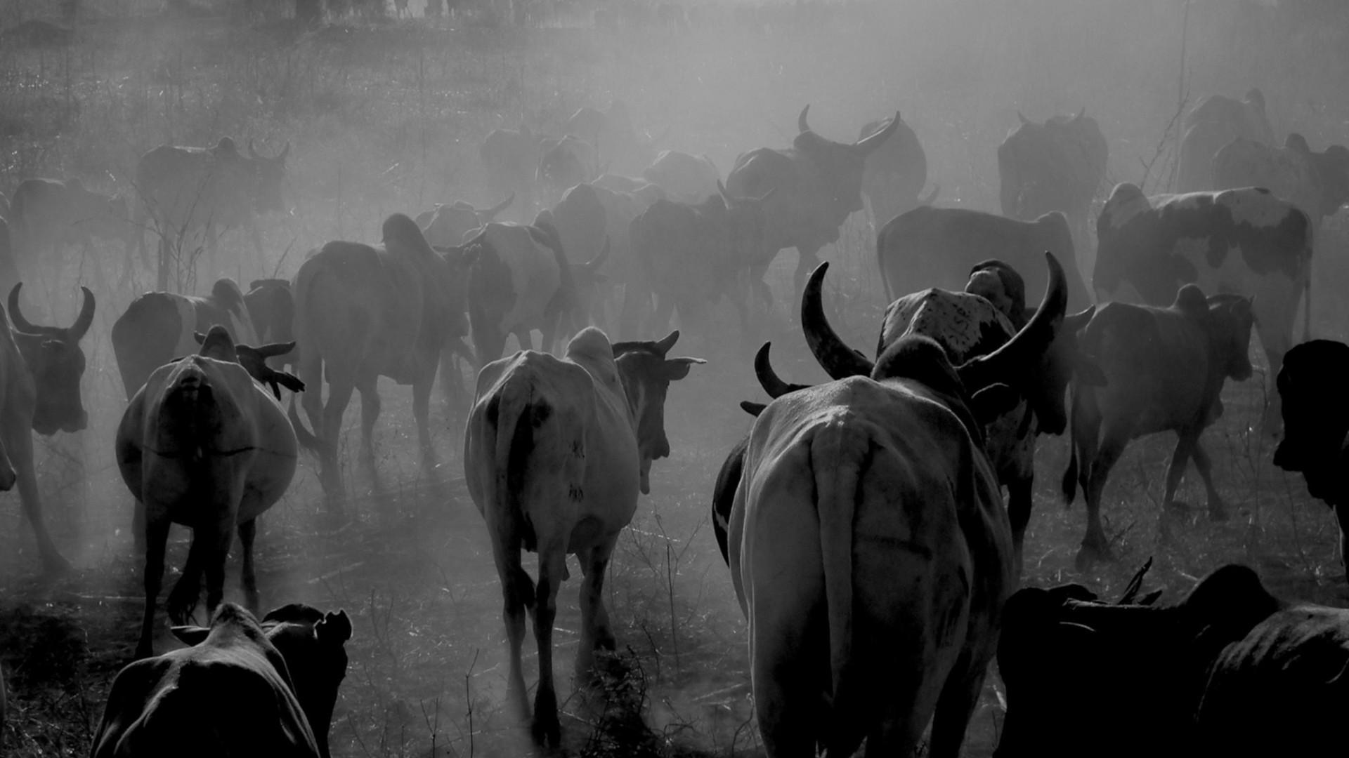 Tanzania cattle