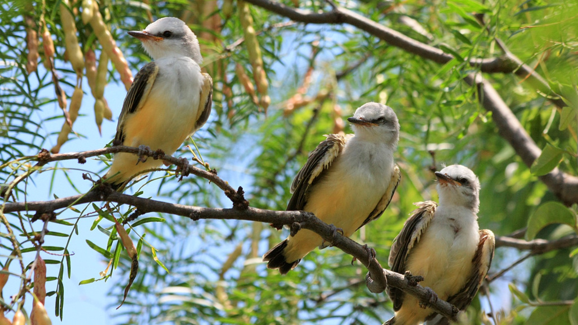Flycatchers in mesquite tree.