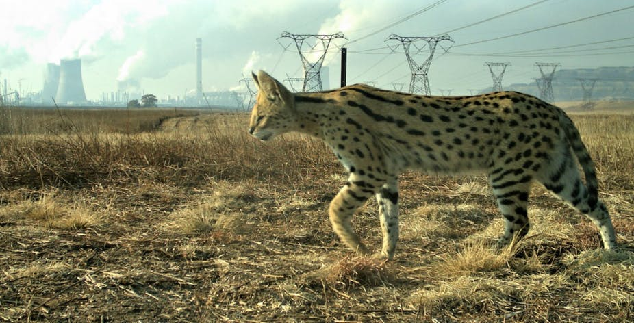 Serval in South Africa