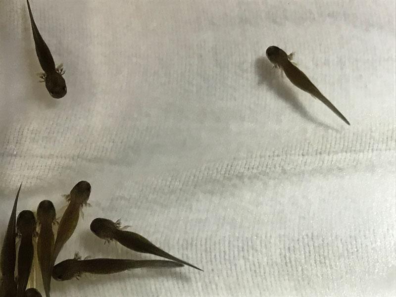 Ozark hellbender hatchlings