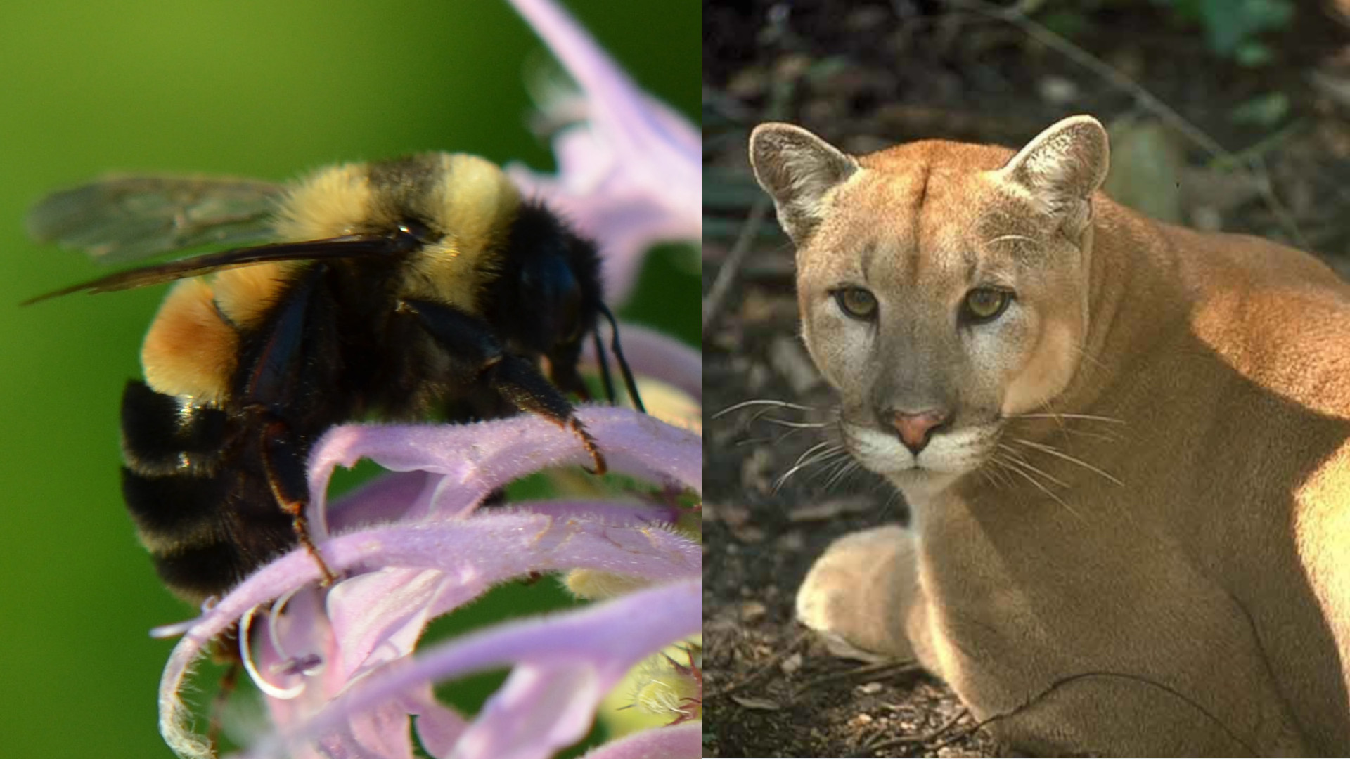 bee cougar