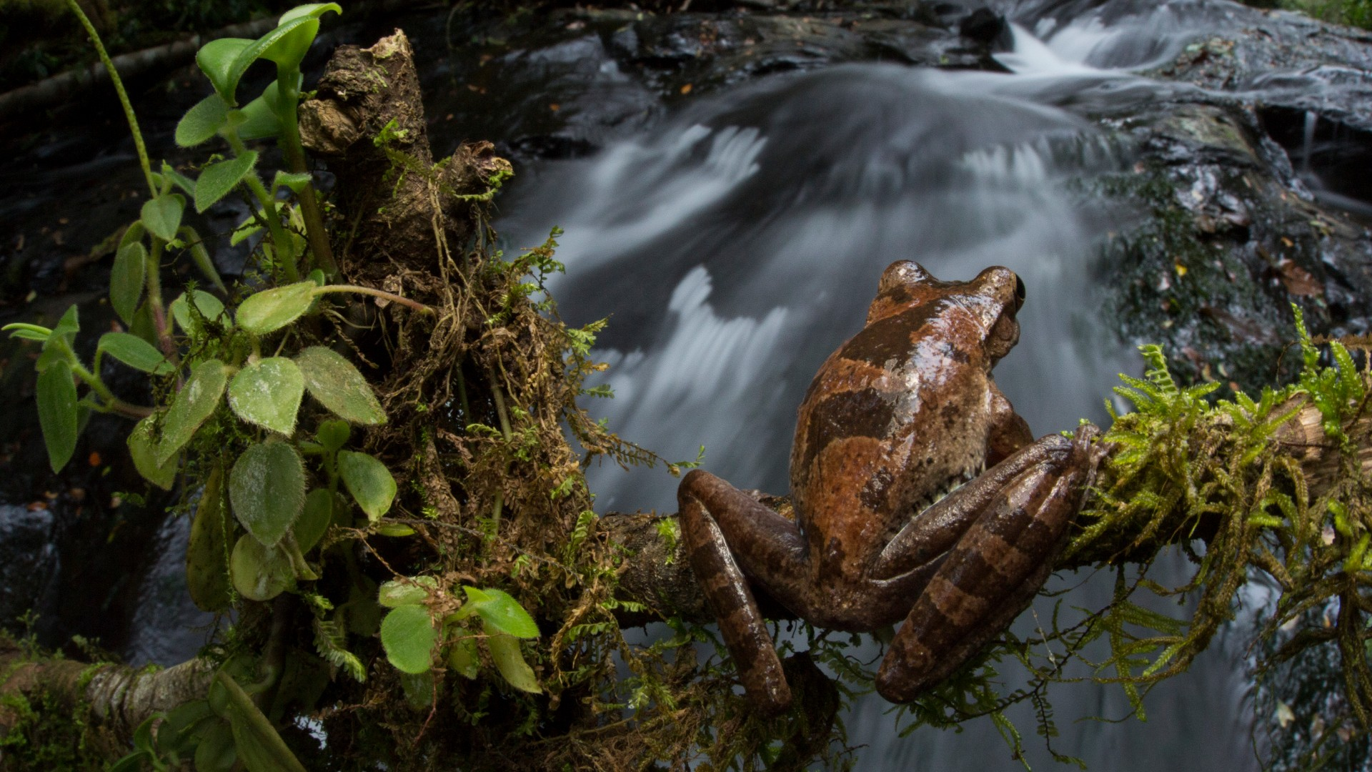 drab treefrog