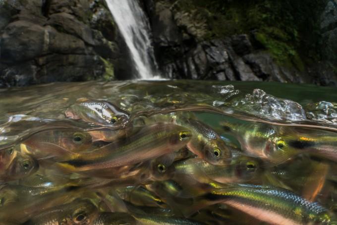 creek tetras