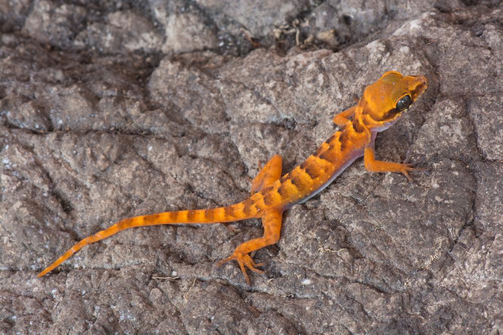 Cyrtodactylus chrysopylos