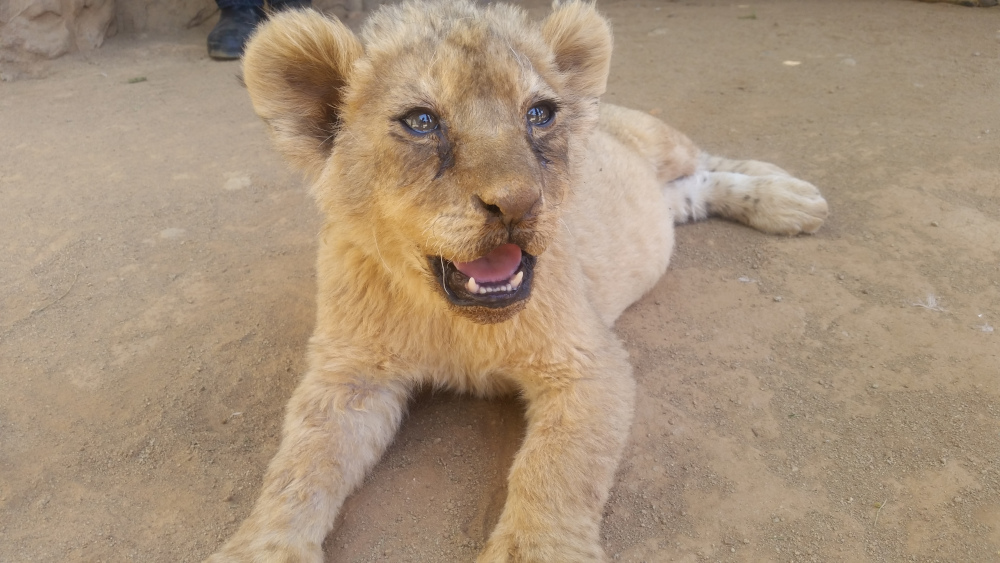 lion cub in breeding center