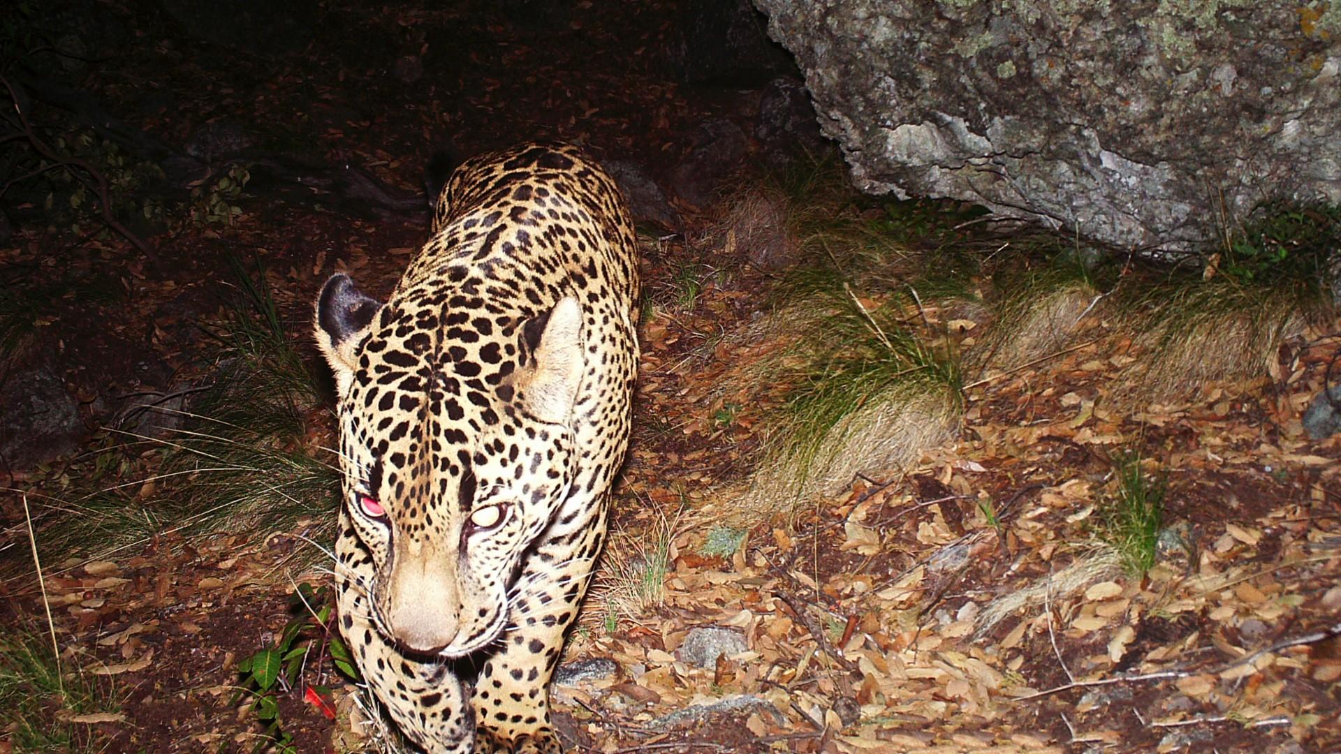 El Jefe jaguar