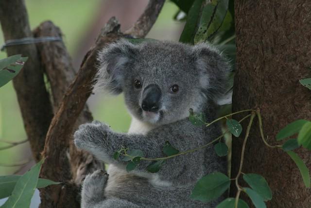 koala recovering