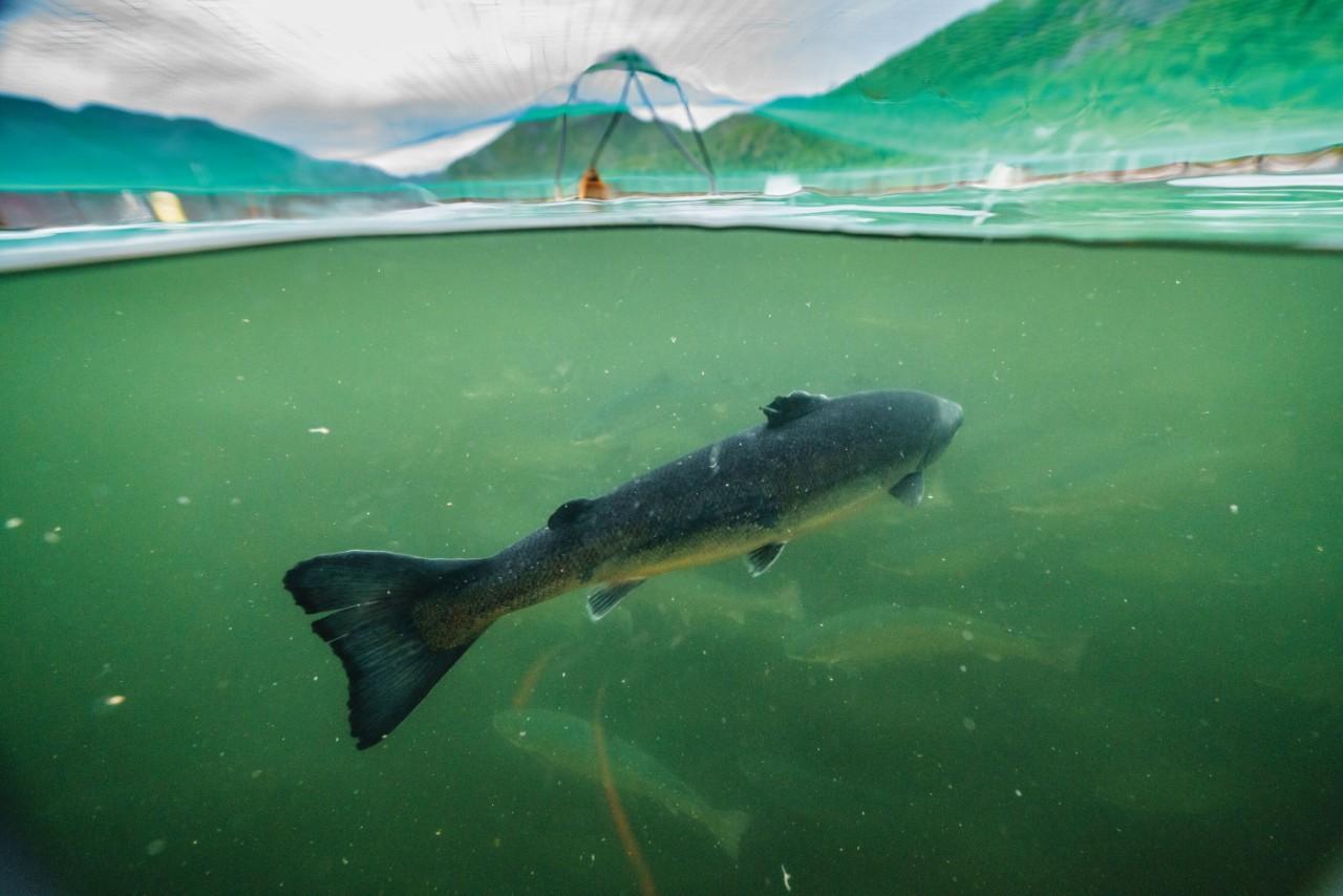 Net-pen salmon farm, Norway.