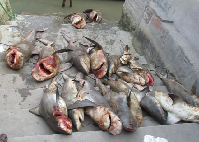 white cheek sharks slaughtered