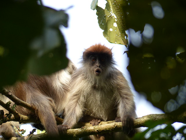 Ashy red colobus
