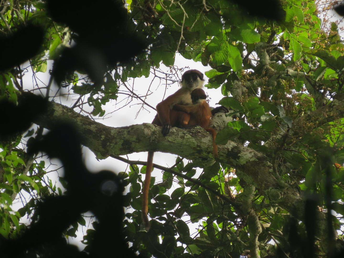 Bouvier's red colobus