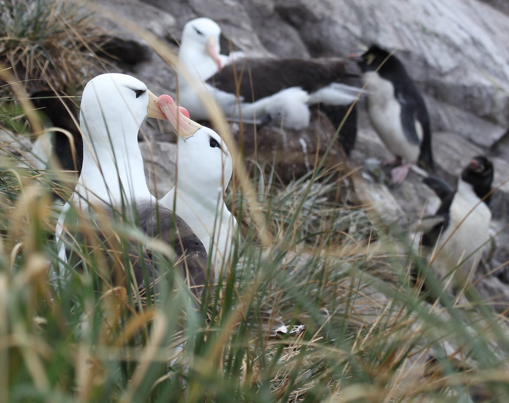 albatross penguins