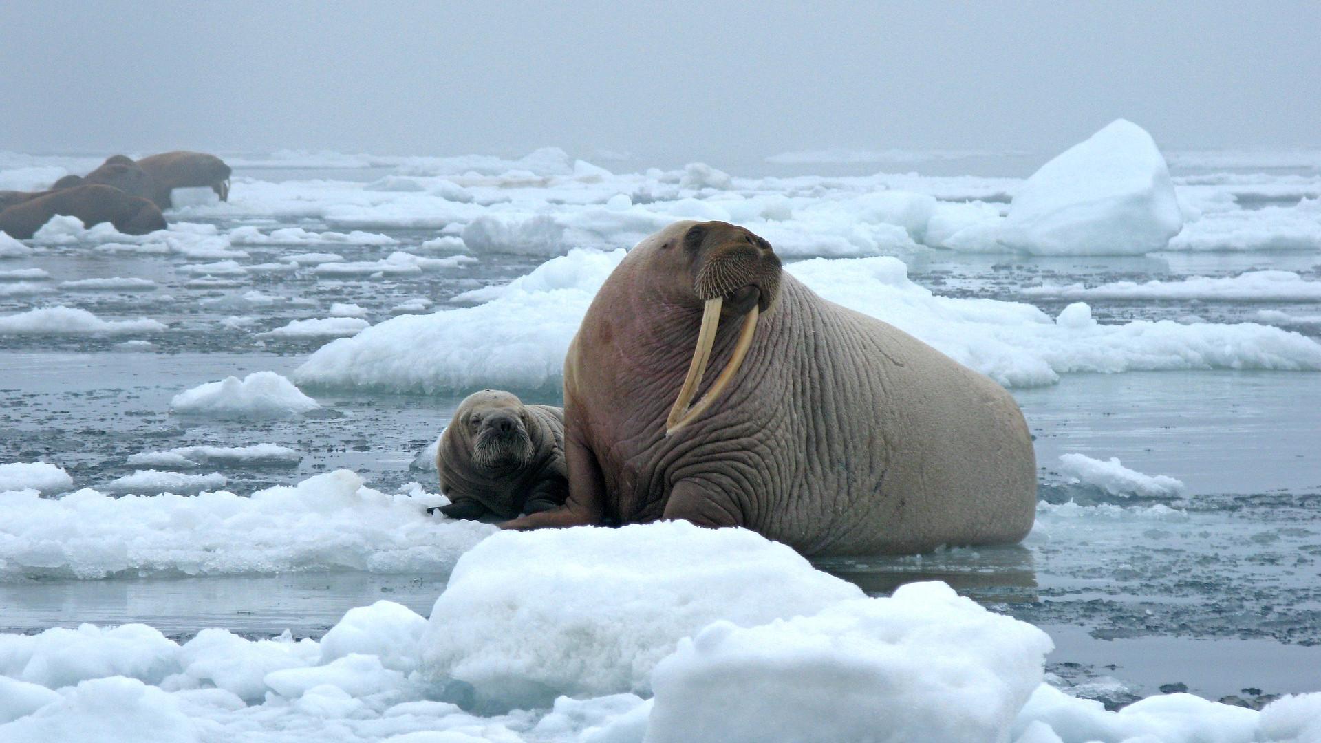 Walrus ice floe