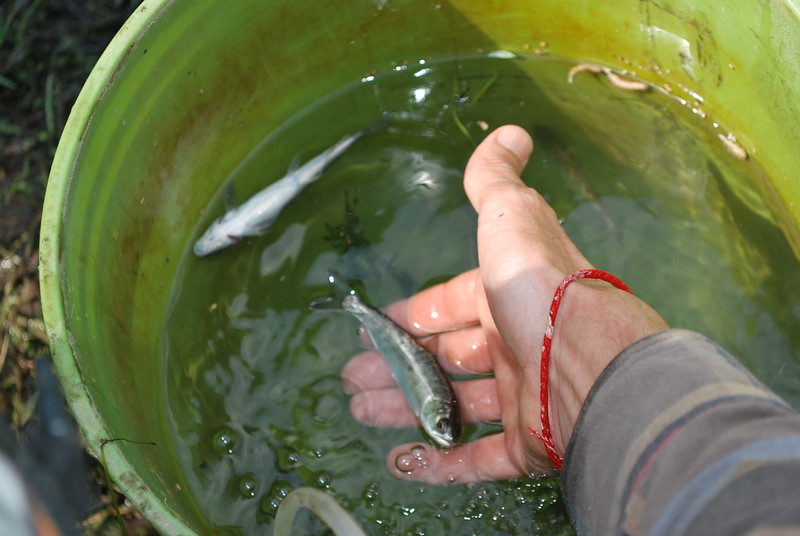 juvenile salmon in a bucket
