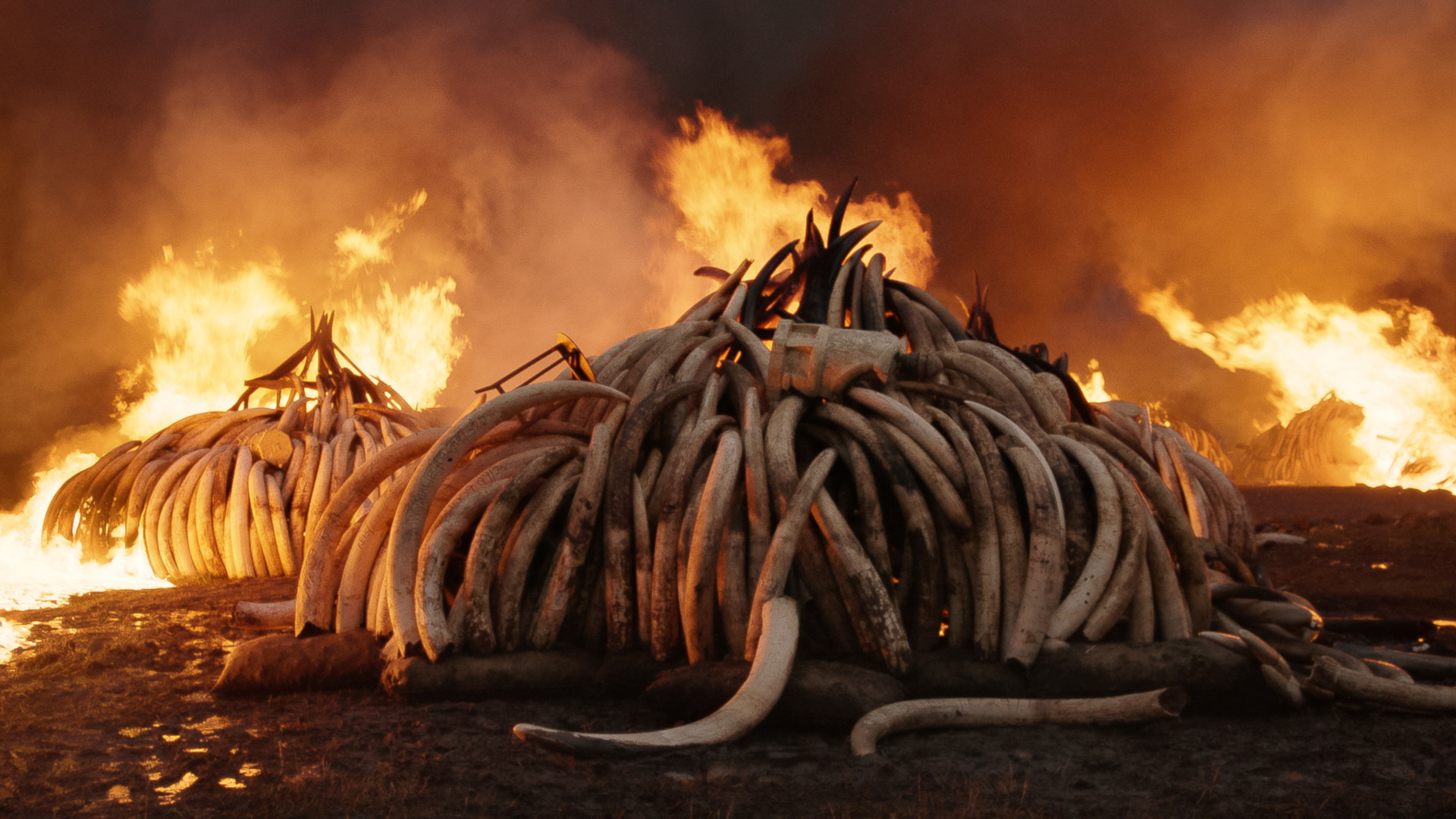 tusks burning