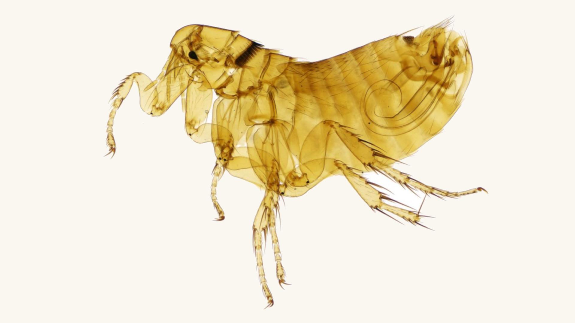 manx shearwater flea