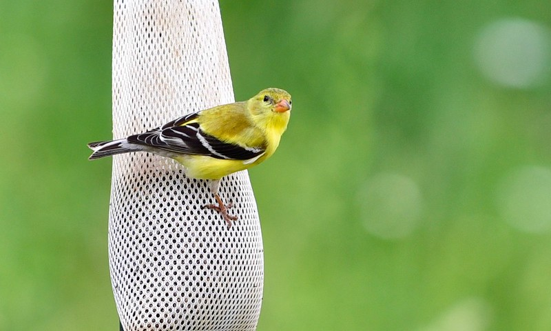 Goldfinch on a bag