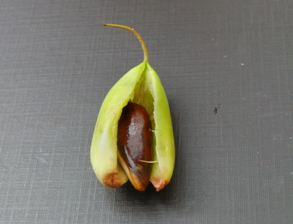 Madhuca insignis fruit with seed