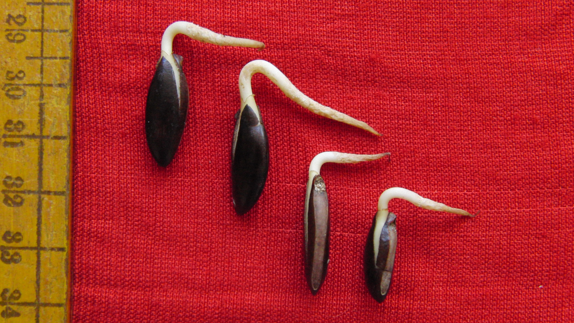 Madhuca insignis seeds