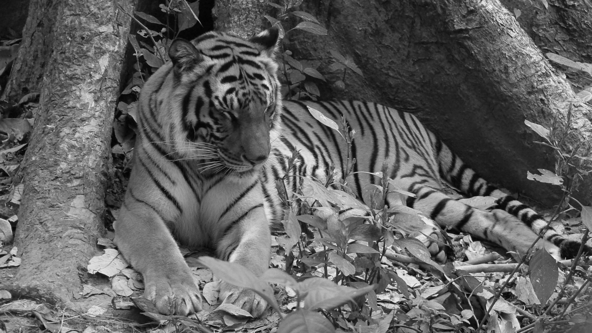 tigre laos