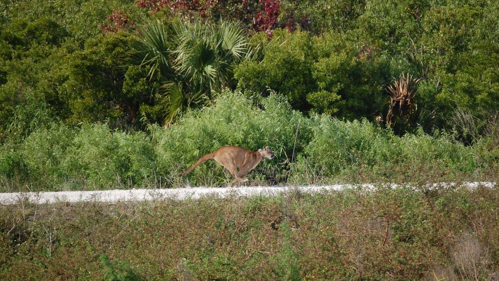 Florida panther running