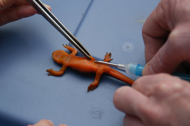 Newt gets microchip