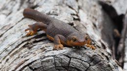 Newt on a log