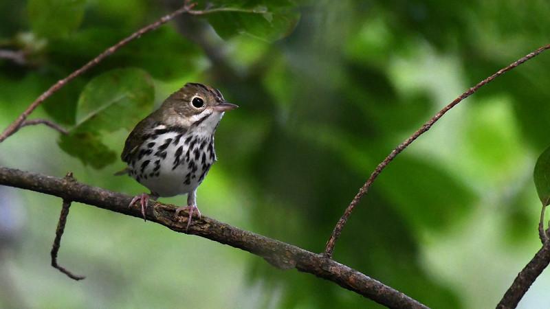 ovenbird-revelator-sound-conservation-ecosystems